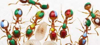 lazy-ants